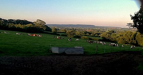 Our organic dairy herd at sunset